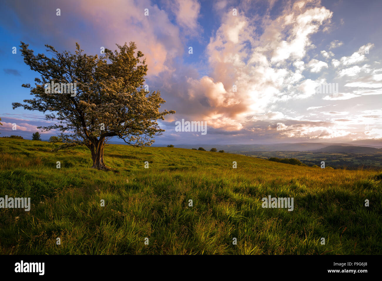 A stormy sunset over the hills of Mid Wales, with a Hawthorn Tree in the foreground. - Stock Image