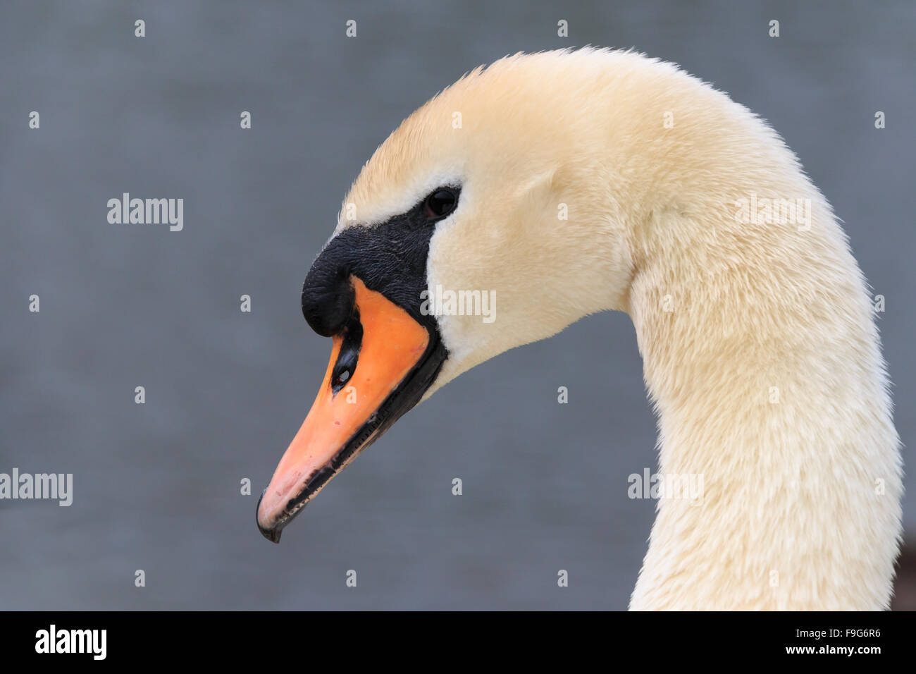 Close up on a Mute Swan's head in the UK - Stock Image