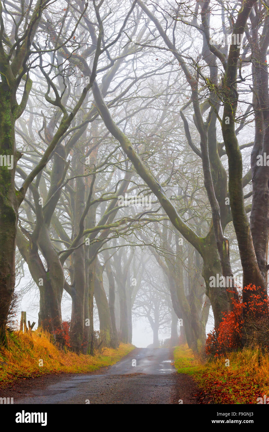Country road with an avenue of bare trees in the winter, Scotland, UK - Stock Image