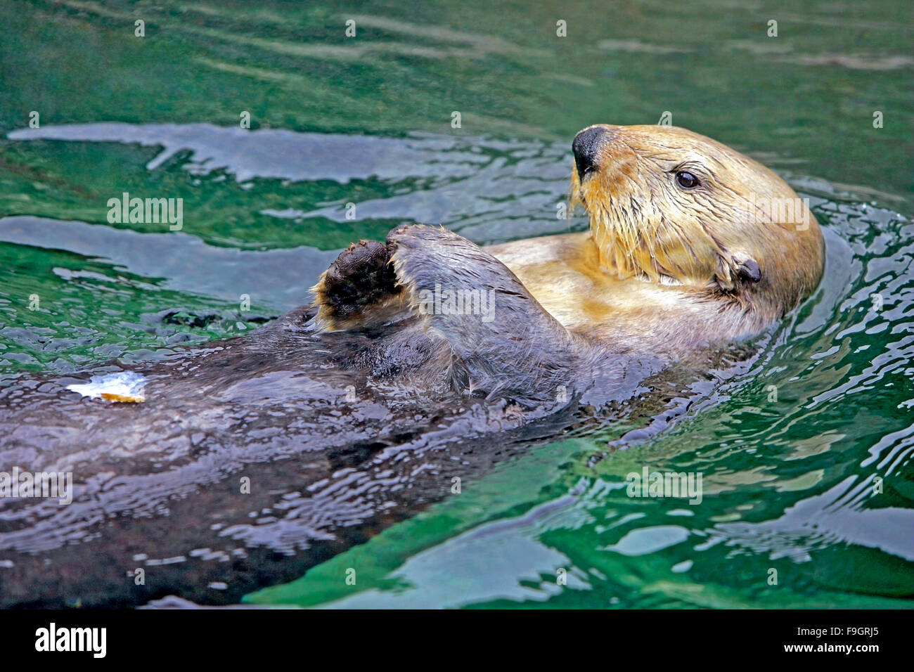 Sea Otter swimming on its back, relaxied - Stock Image