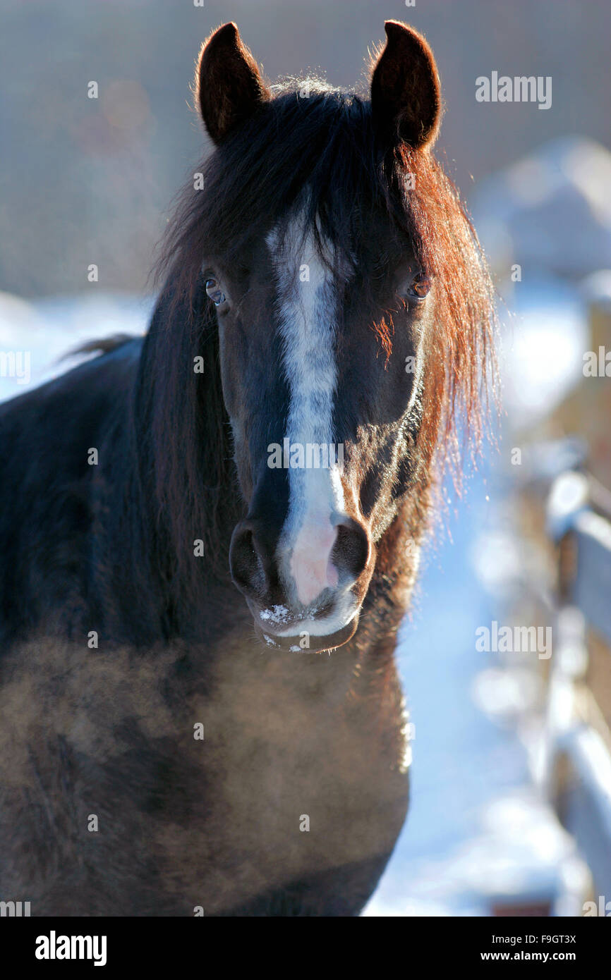 Black Arabian Stallion Head portrait closeup - Stock Image