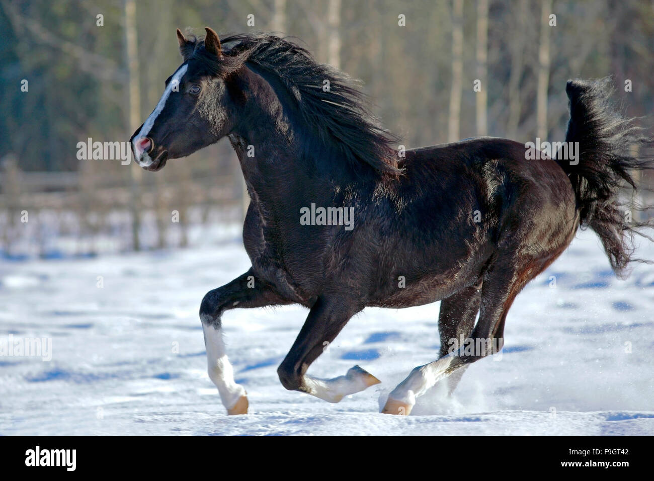 Black Arabian Stallion galloping on snow - Stock Image