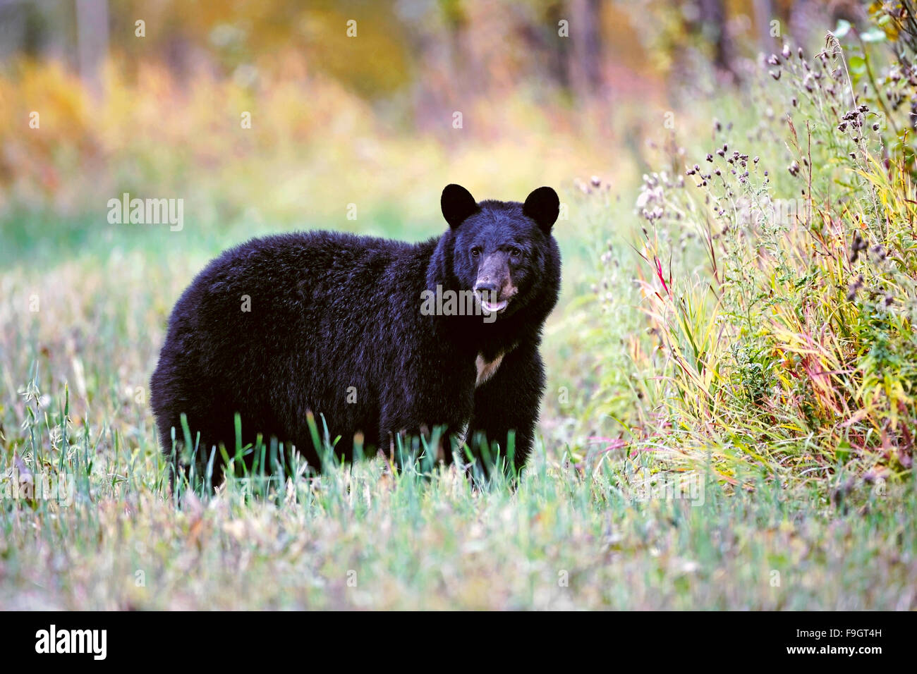 Big female Black Bear standing in meadow, autumn colors Stock Photo