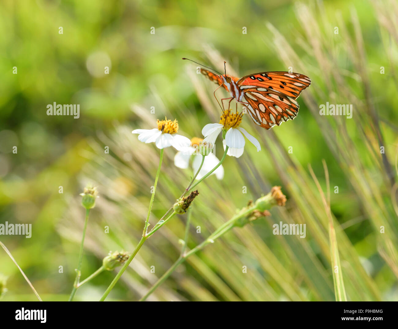 Fritillary butterfly on wildflowers - Stock Image