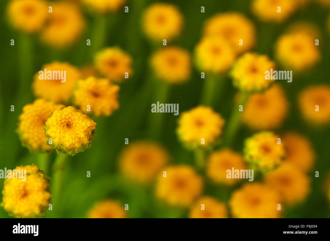 Yellow Flowers Blooms In Spring Time Background Texture Stock Photo