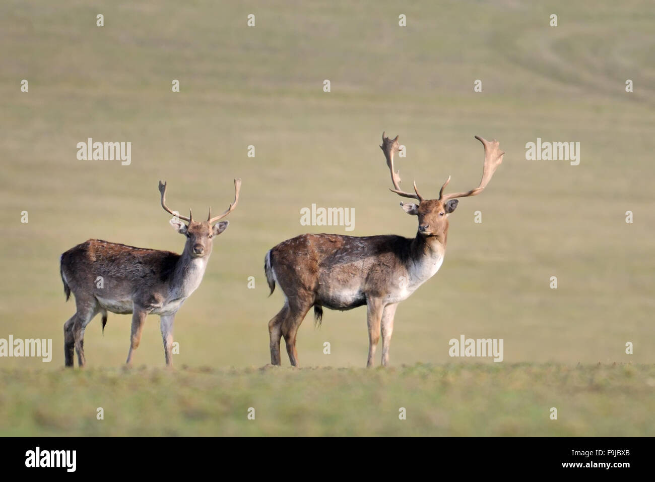 Fallow deer,Ceska Republika.Cesko,Czech Republic Stock Photo