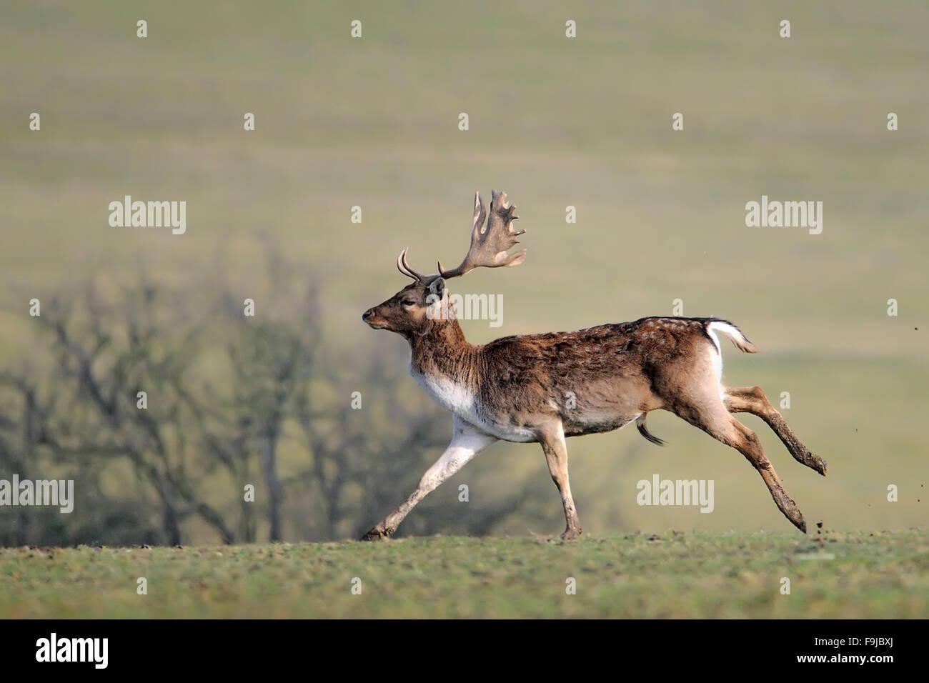 Fallow deer,Ceska Republika.Cesko,Czech Republic Stock Photo