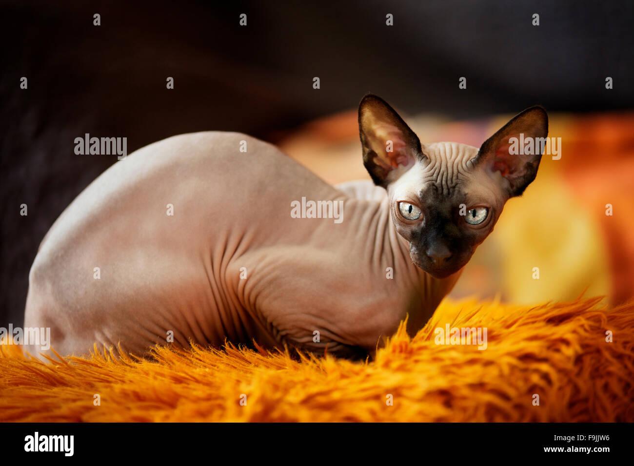 Sphynx Kitten Stock Photos & Sphynx Kitten Stock Images - Alamy