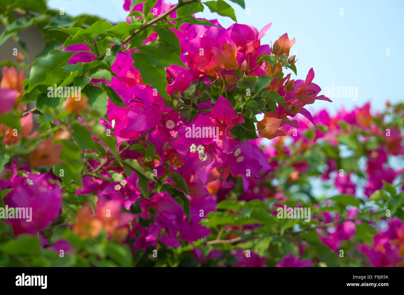 Bugenvilley flowers tropical ,flowers, plants, bushes, lianas, Bugenvilley, tropics, tropical plants, flora, Asia, - Stock Image
