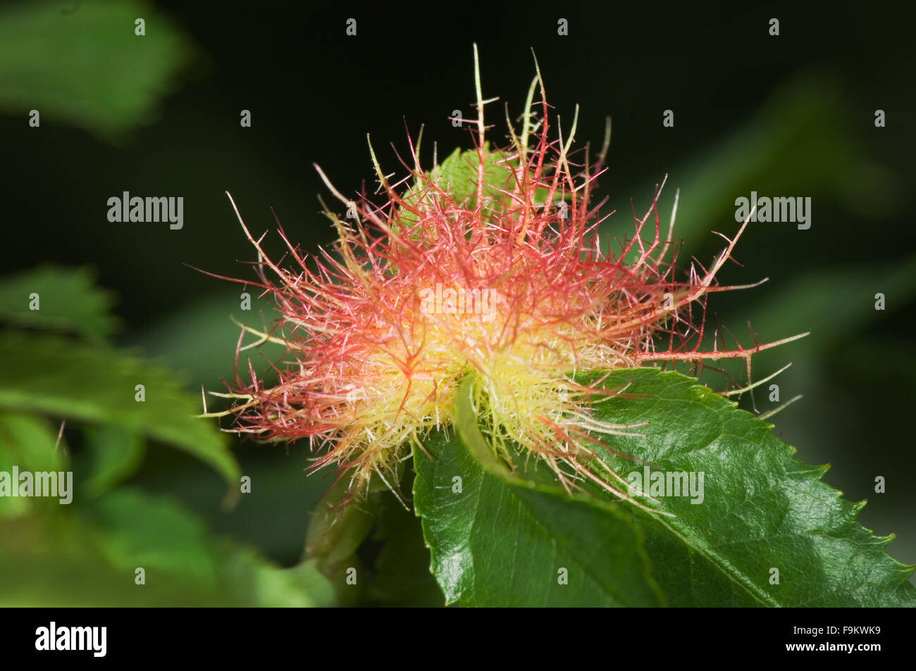 Closeup of a rose gall wasp on a rose plant. Limited-anomaly caused by infection by viruses, bacteria, fungi or - Stock Image