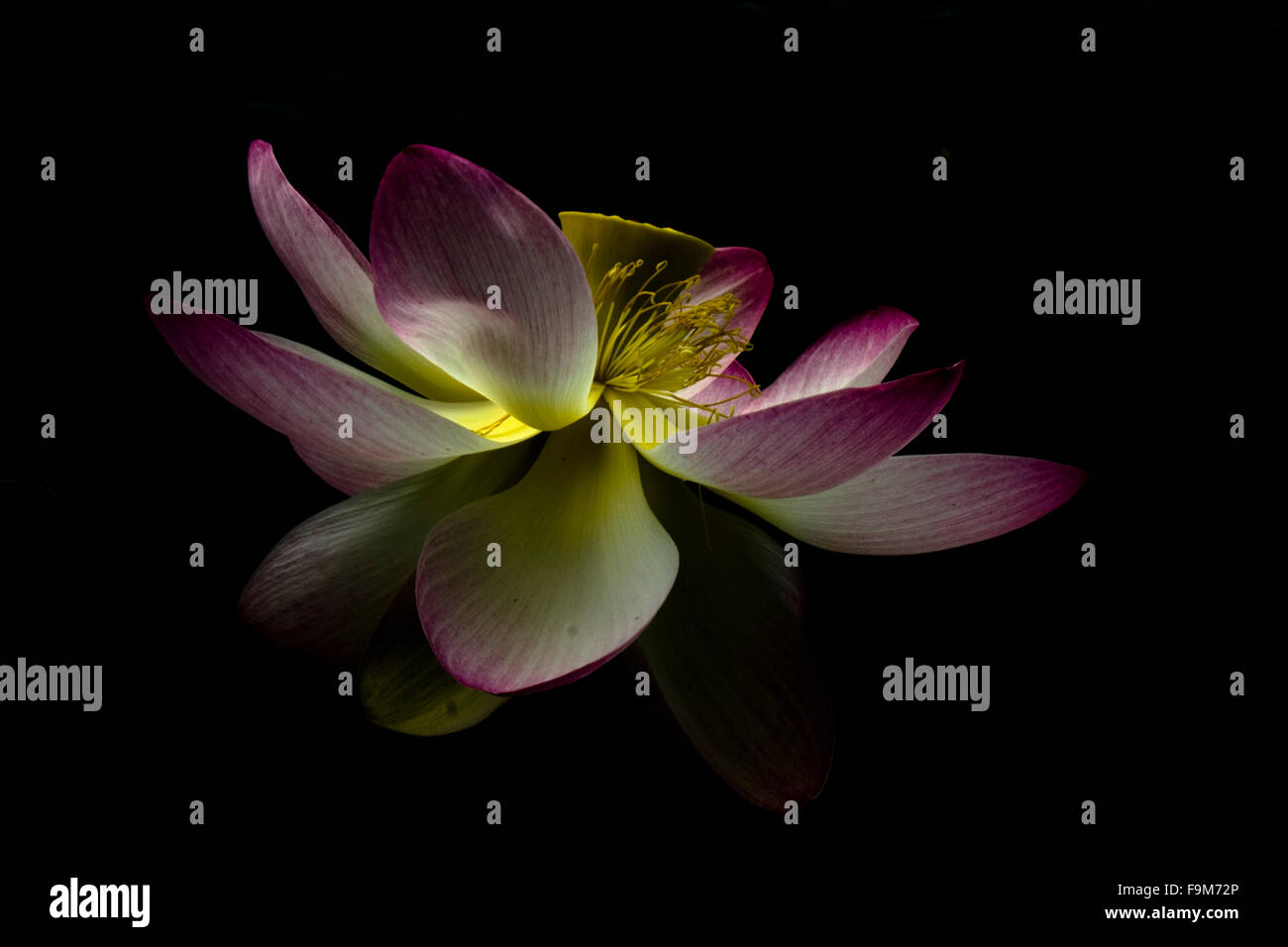 Open lotus flower on a dark background stock photo 92028350 alamy open lotus flower on a dark background izmirmasajfo