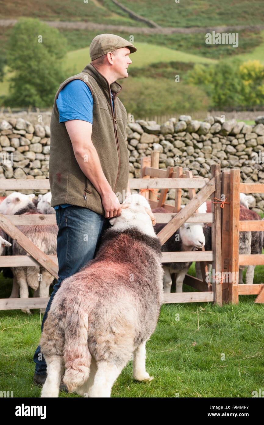Shepherd showing his Herdwick Sheep at the Wasdale Head Shepherd's Meet, Cumbria, England, UK - Stock Image