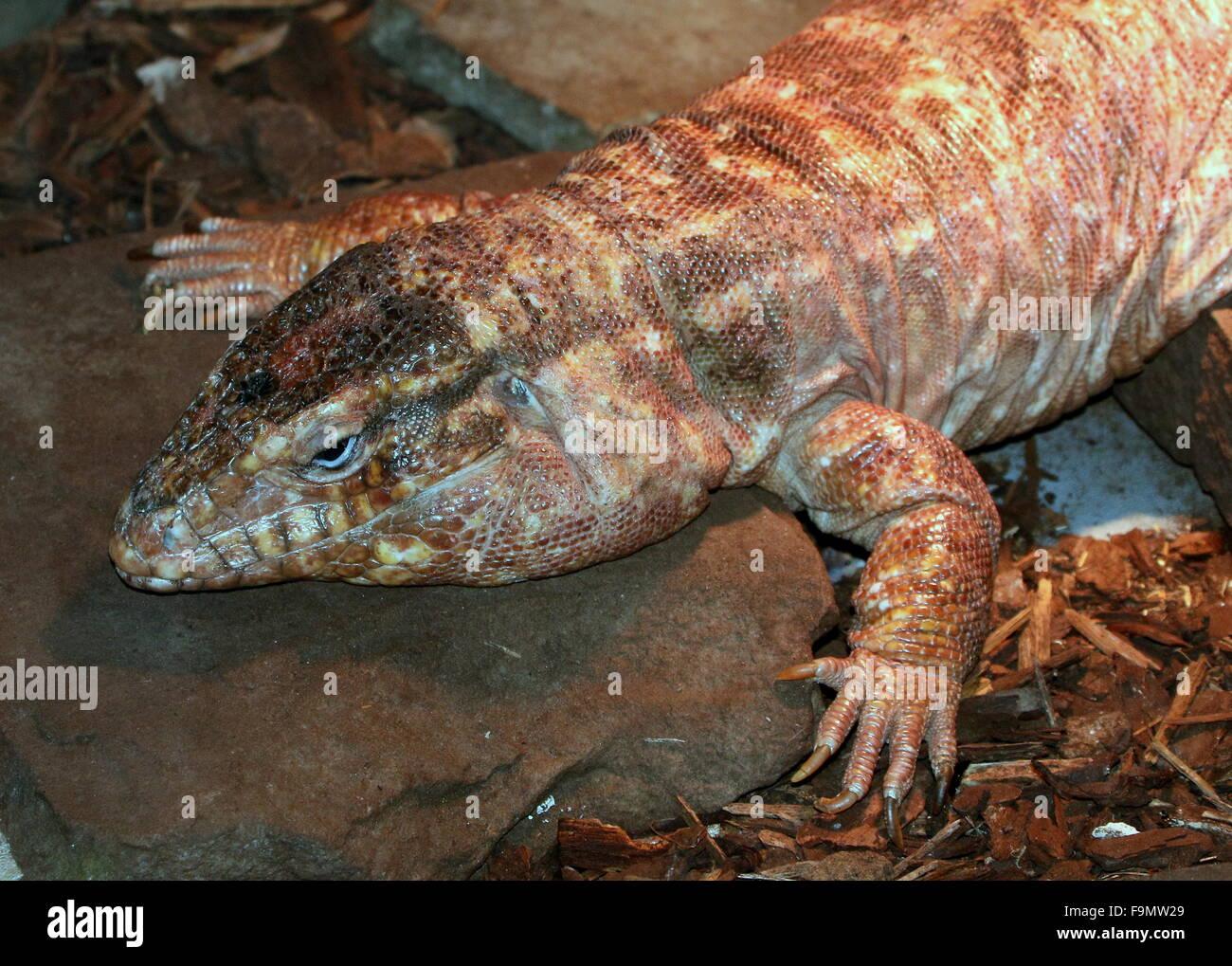 Female Argentine giant Red Tegu lizard (Tupinambis ...   Giant Tegu Lizard