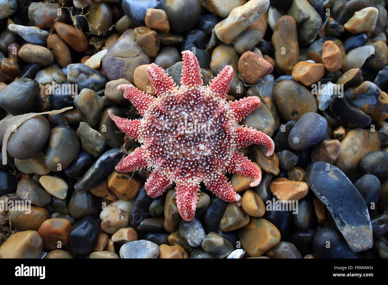 Common Sunstar (Crossaster papposus) dead - Stock Image