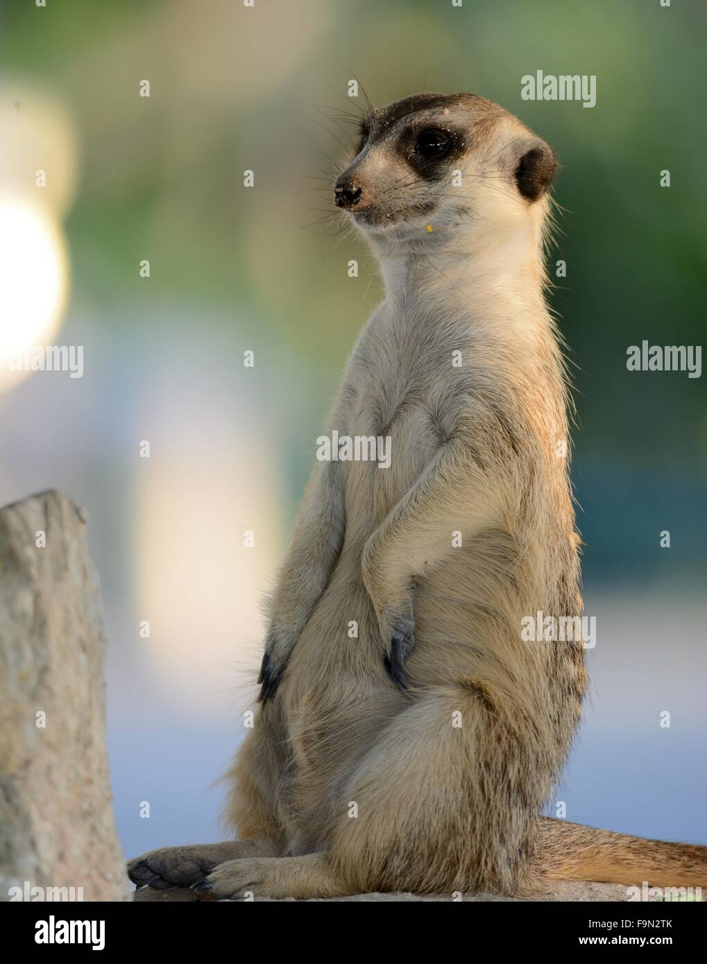 hand feeding beautiful Meerkat (Suricata suricatta) in Thai zoo - Stock Image