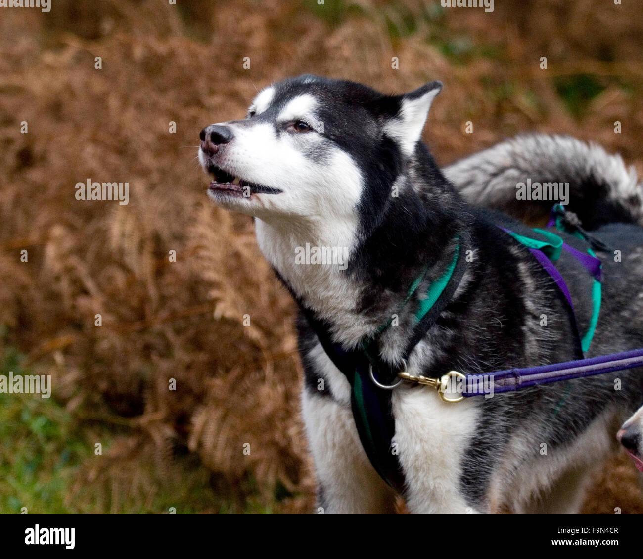 alaskan malamute howling before a race - Stock Image