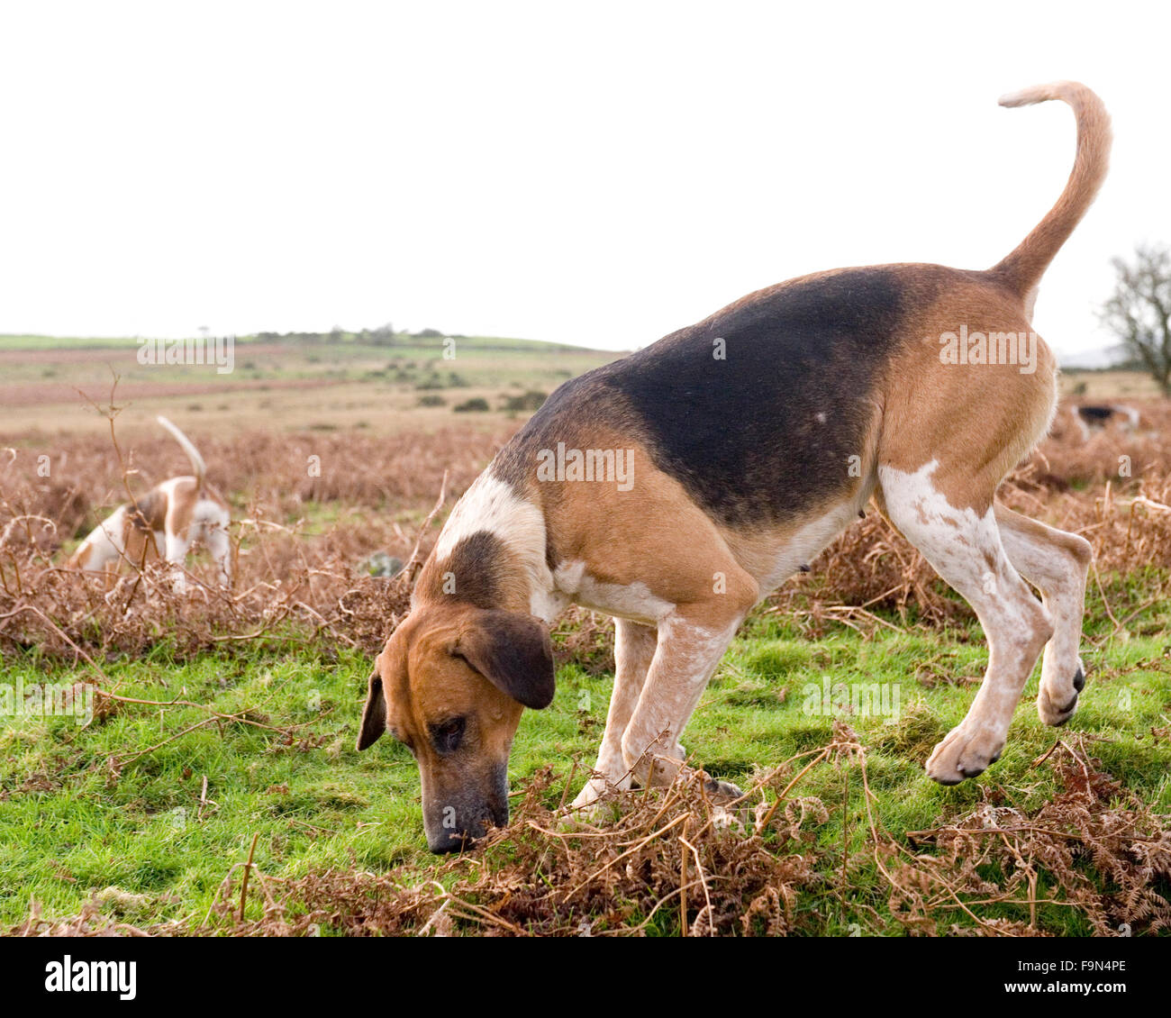 foxhound on a hunt - Stock Image