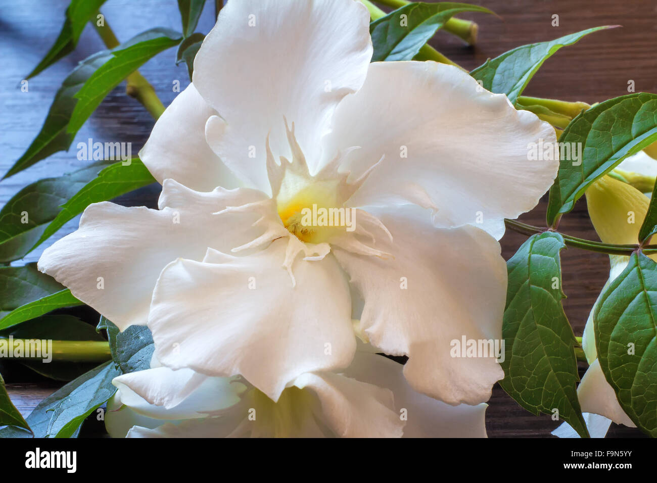 A Close Up Of Beautiful White Oleander Flower Against Green Leaves