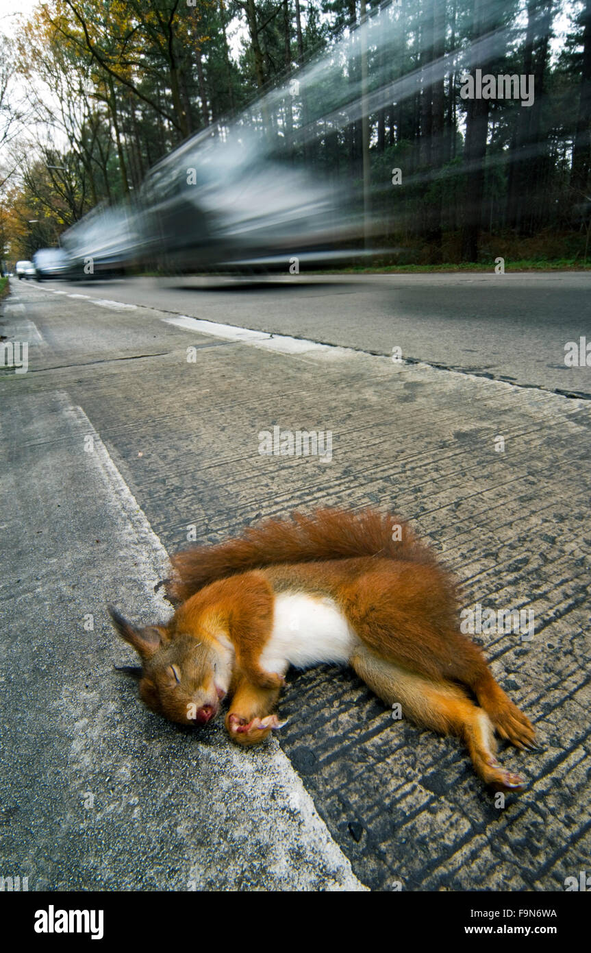 Eurasian red squirrel (Sciurus vulgaris) killed by car lying dead on road verge with cars driving by - Stock Image