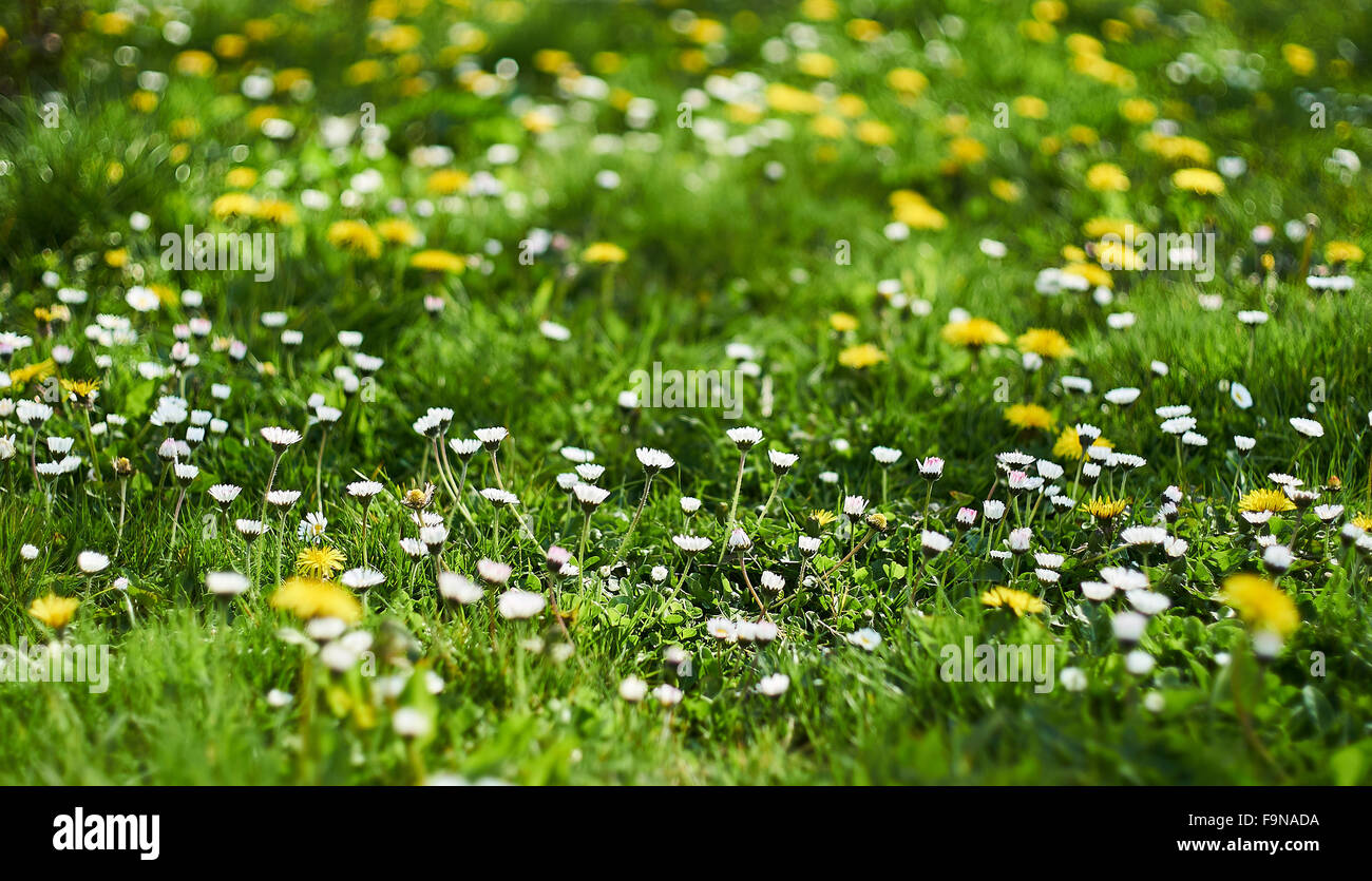 A flowery, green spring lawn with grass, dandelions and daisy - Stock Image