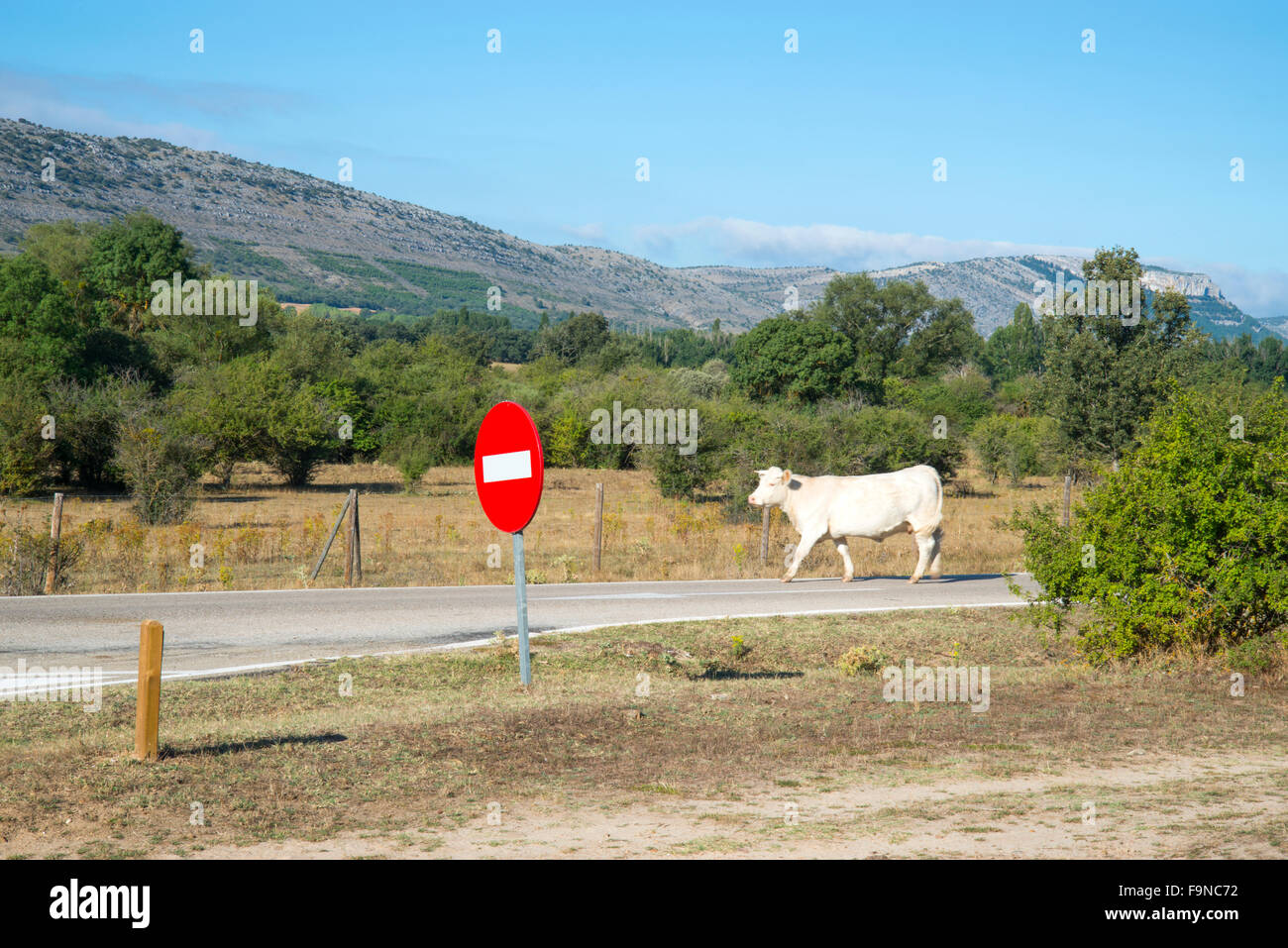 Cow walking along a road and traffic sign. Monte Valonsadero, Soria, Spain. Stock Photo