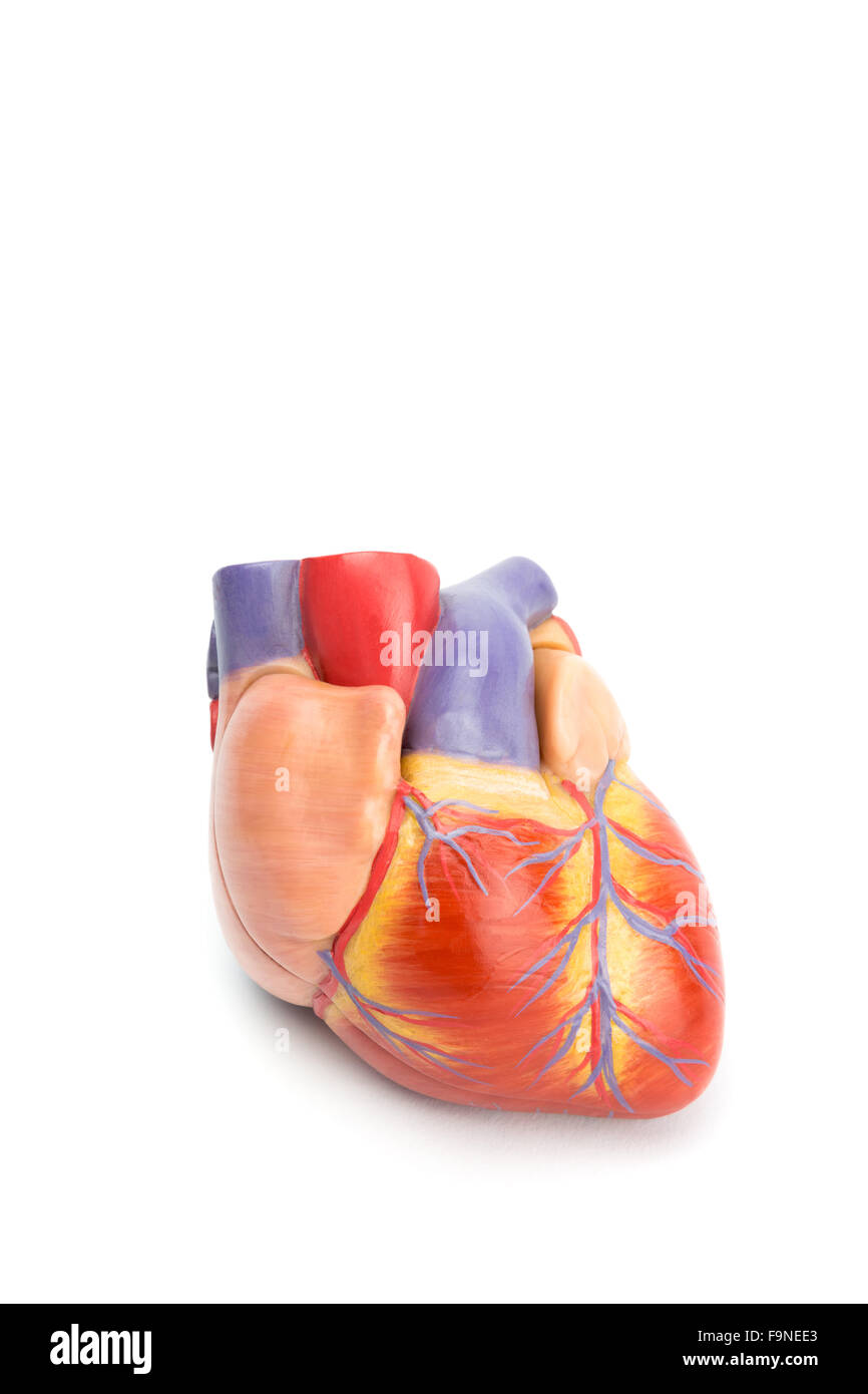plastic model of human heart isolated on white background - Stock Image