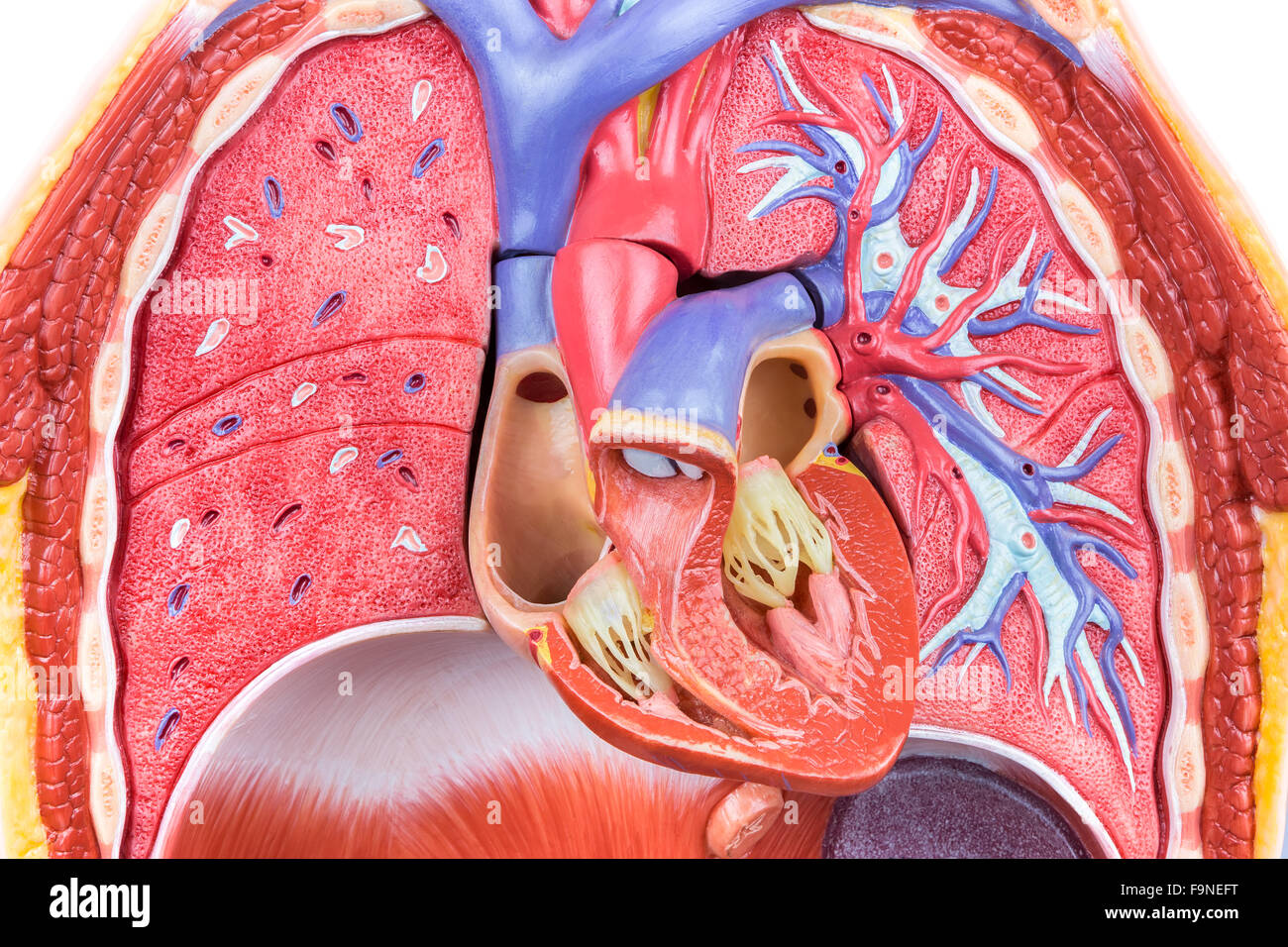 Open artificial model human body with lungs and heart Stock Photo ...
