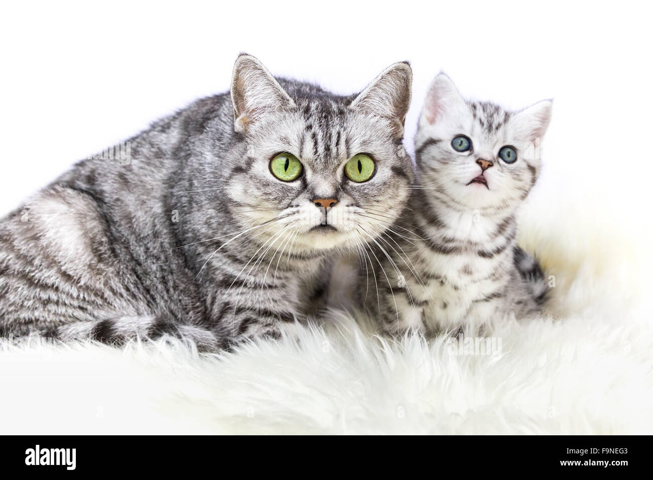 Mother British Shorthair Silver Tabby Cat Sitting With Young Kitten Stock Photo Alamy