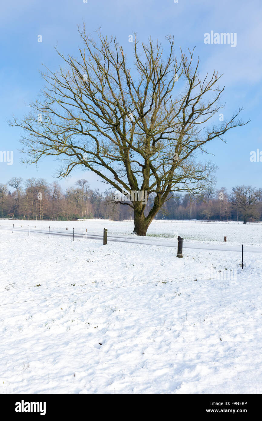 Landscape with snow in winter  bare oak tree and blue sky - Stock Image