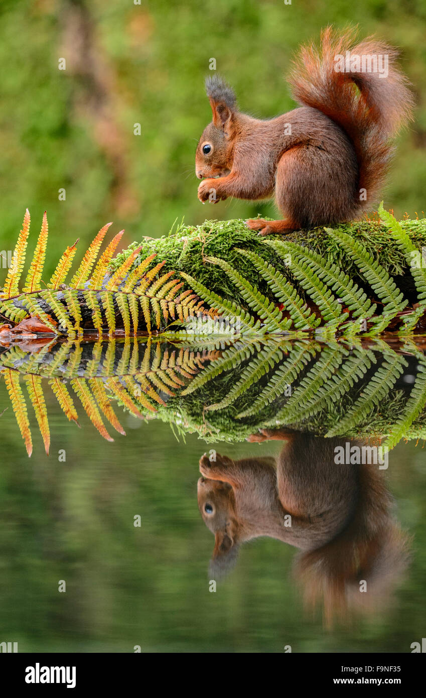 Red squirrel eating at a pool with ferns and its reflection in the water - Stock Image
