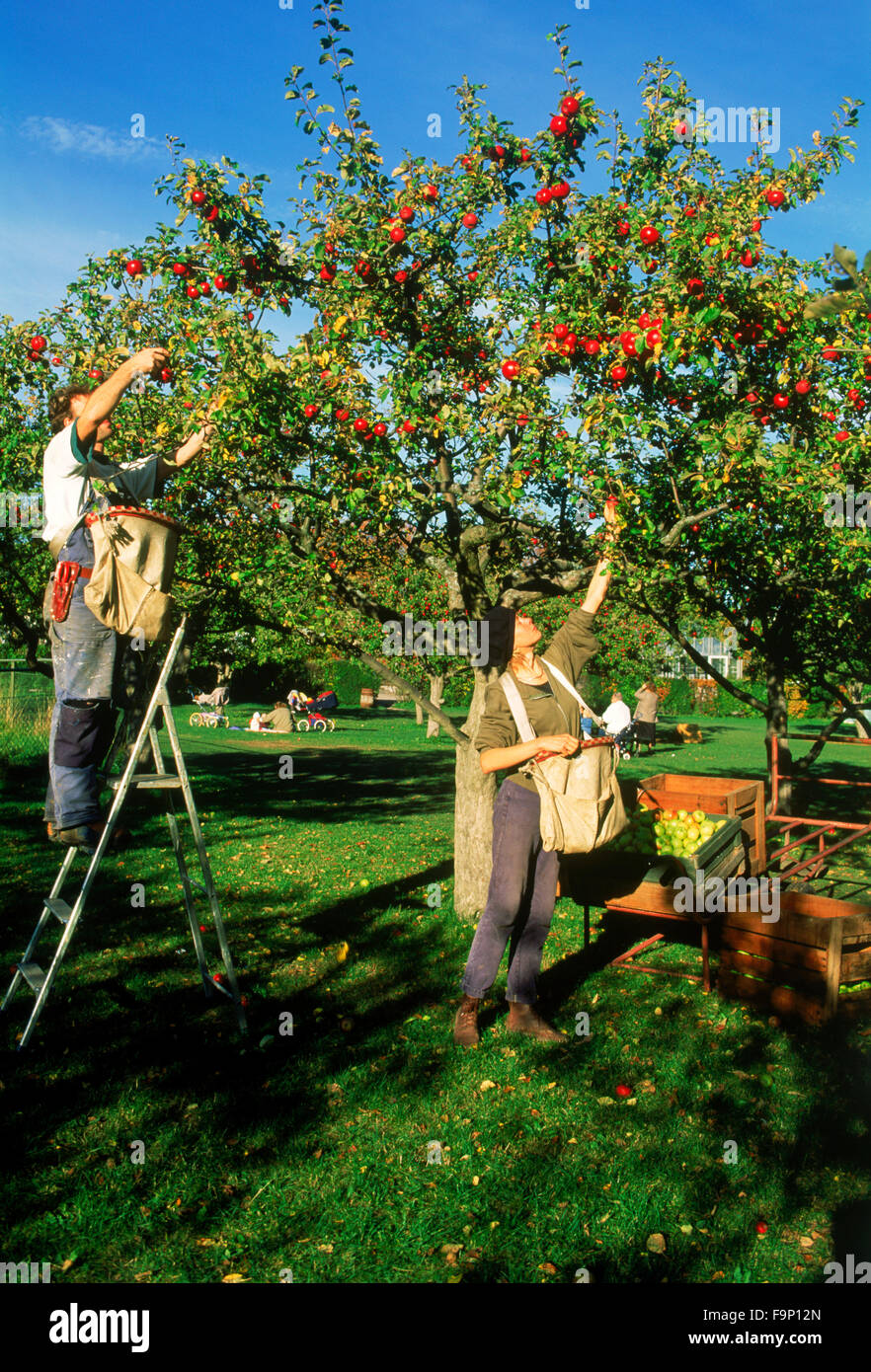 Young man and woman picking apples from tree on farm near Stockholm during annual harvest season - Stock Image