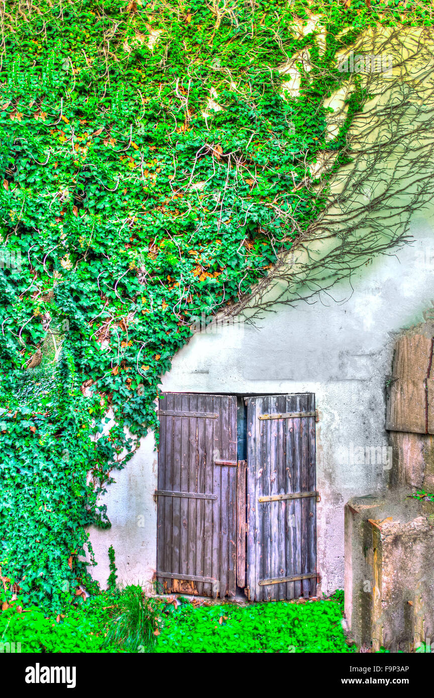 old door between the ivy in hdr in a old house Stock Photo