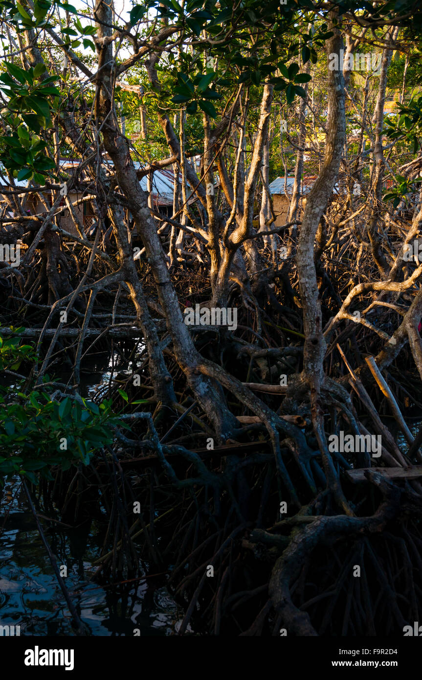 Dried Roots and vines of a tree in the mud - Stock Image