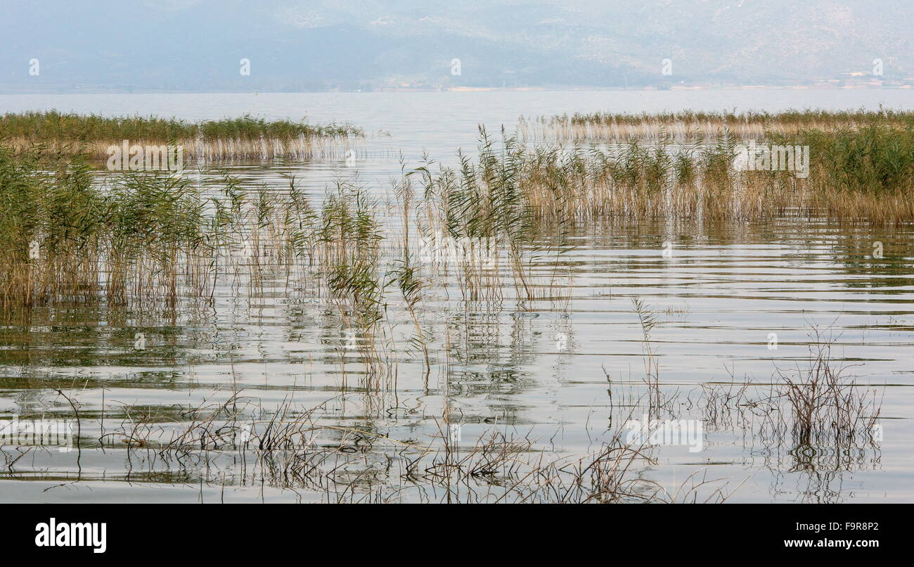 Reed-beds in Lake Doirani (Doiran),  looking from Greece to Macedonia (FYROM). - Stock Image