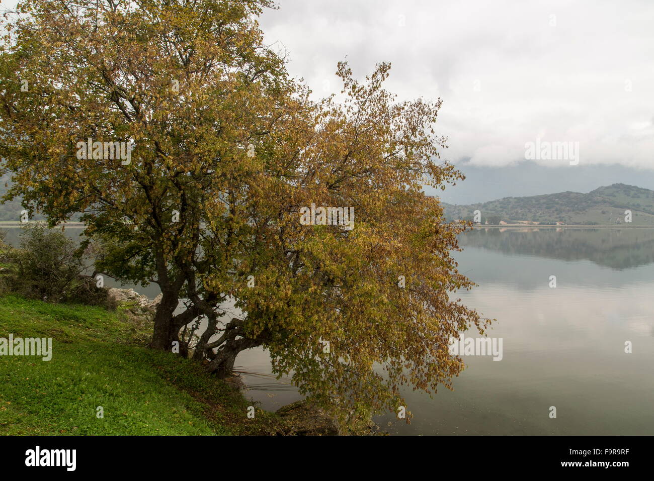 Oriental Hornbeam, Carpinus orientalis with autumn colour, at Lake Zazari, Florina, Macedonian Greece. - Stock Image