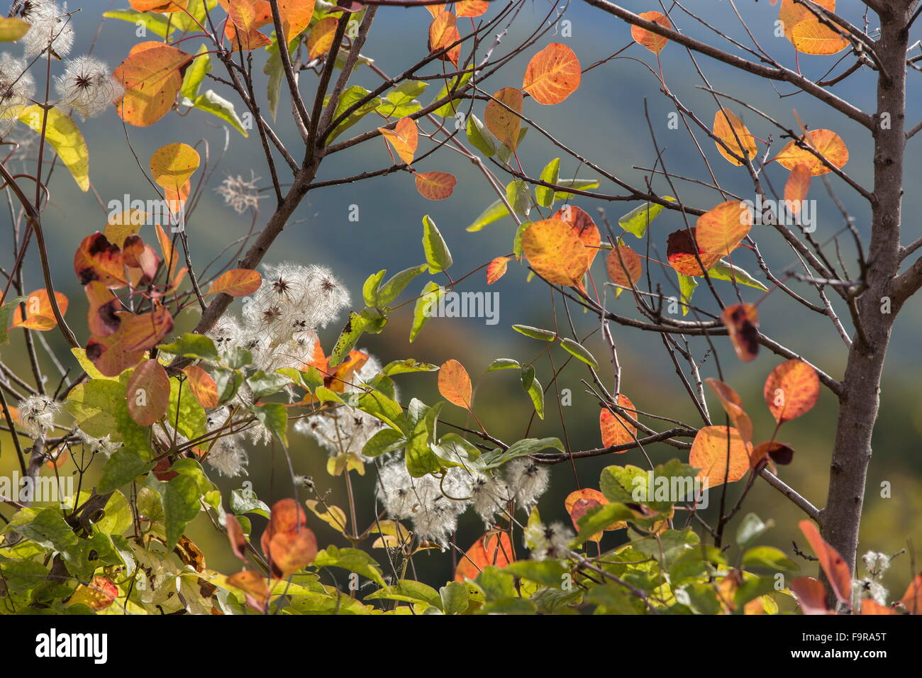 Traveller's-joy and Smoke Bush in autumn colour and fruits, north Greece. - Stock Image