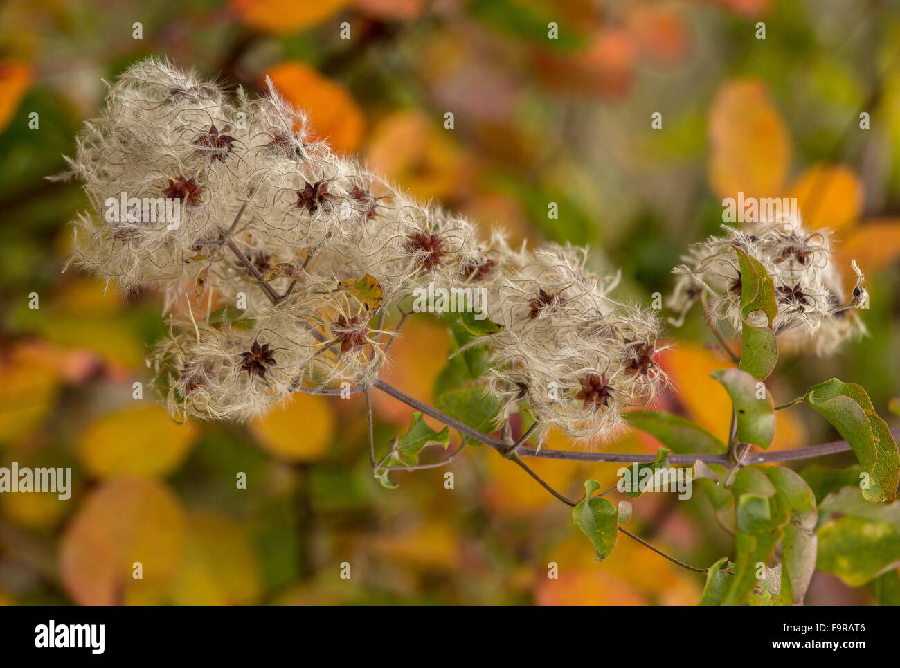 Traveller's-joy, Clematis vitalba in autumn colour and fruits, north Greece. - Stock Image