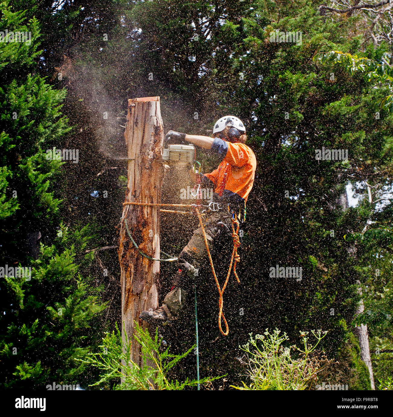A forester  with harness and safety equipment, uses a power saw to remove a tree trunk at the Geelong Botanic Gardens - Stock Image