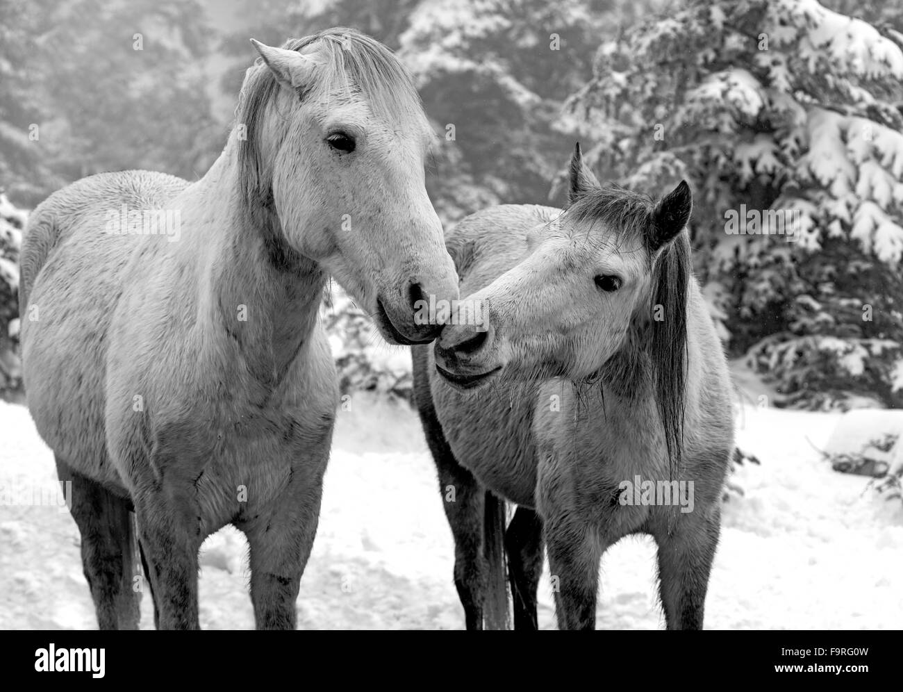 A couple of young white horses in a tender snapshot at the snowy country side of Giona mountain in Fokida region, - Stock Image
