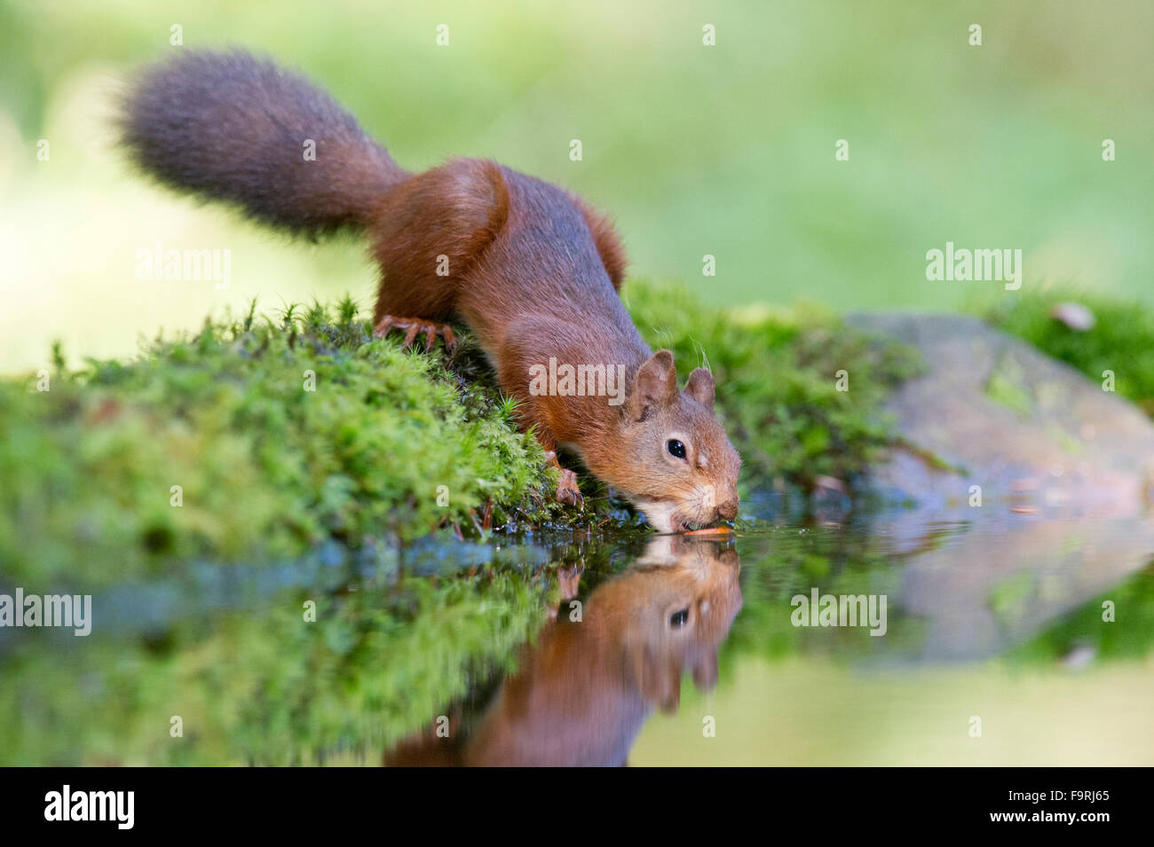 A Red Squirrel (Sciurus vulgaris) reflected in a small woodland pool in the North Yorkshire Dales as it tries to - Stock Image