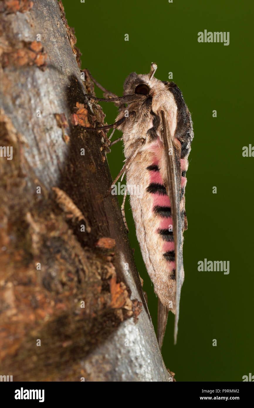 Privet hawk moth - photo#52