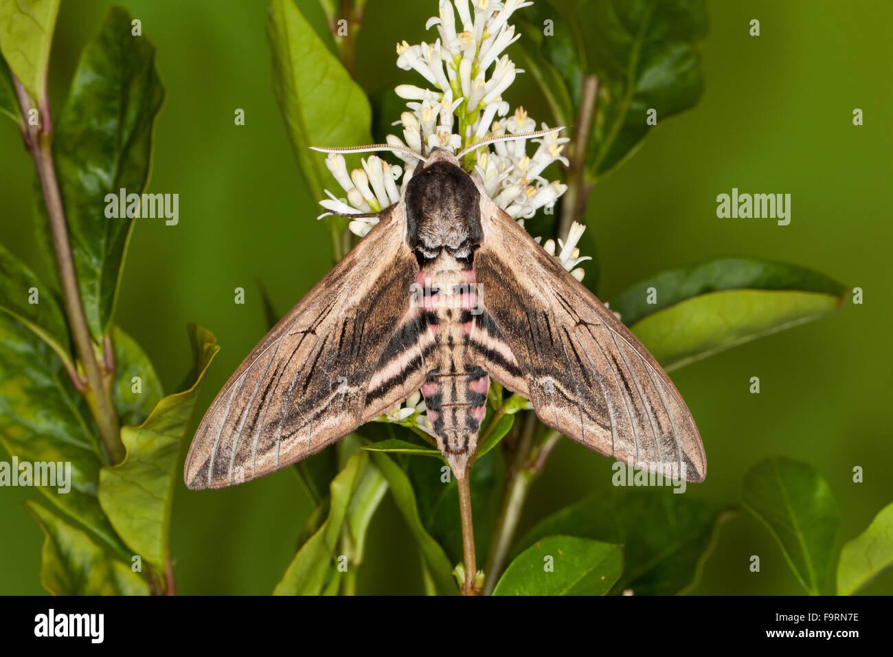 Privet hawk moth - photo#42