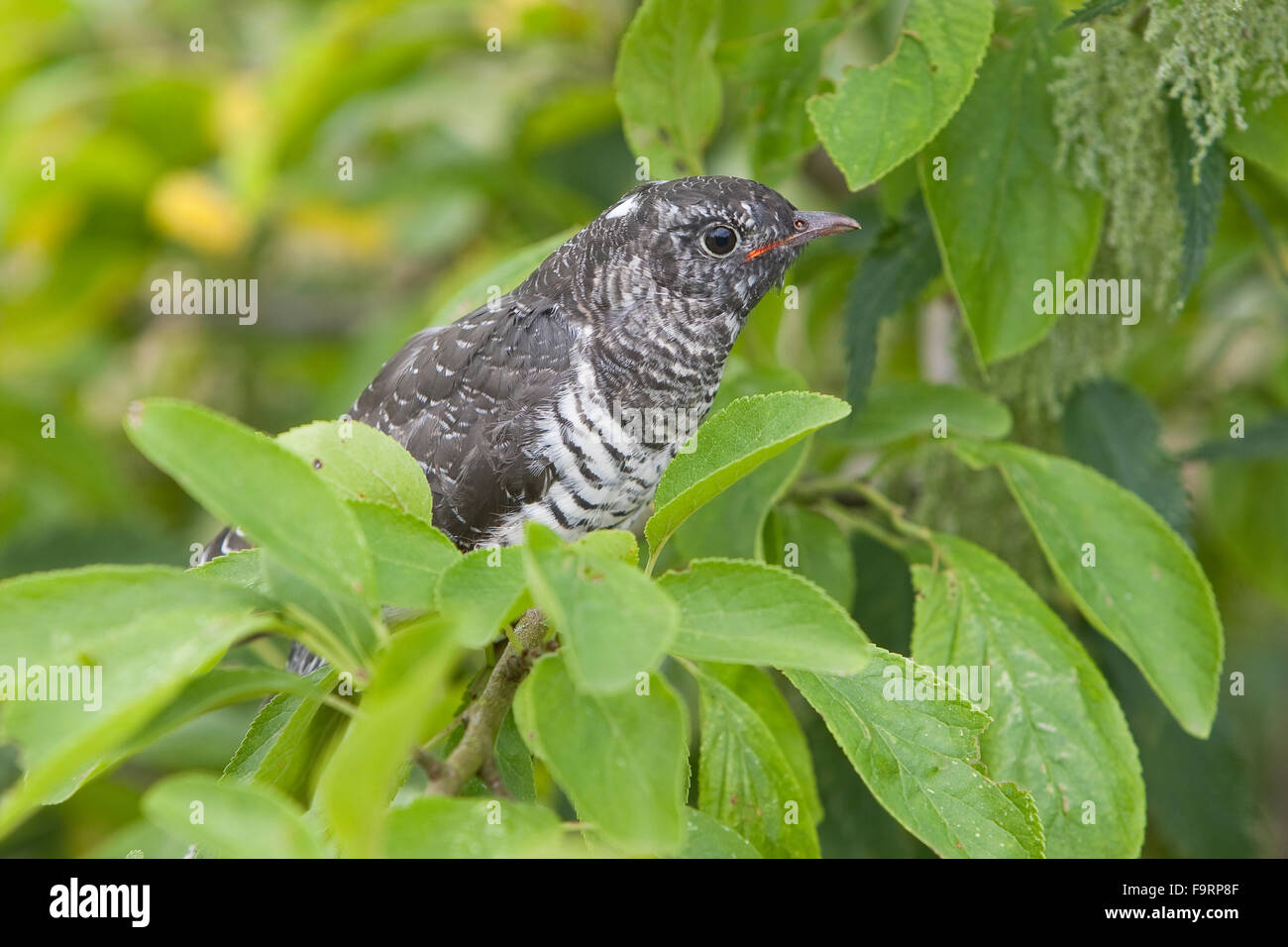 Cuckoo, young bird, Kuckuck, flügger Jungvogel, Cuculus canorus, Coucou gris - Stock Image