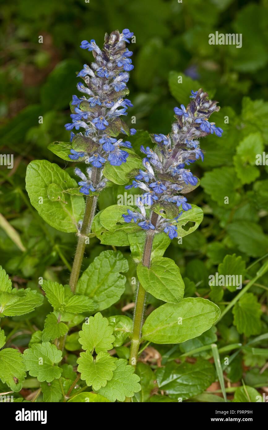 Bugle, blue bugle, bugleherb, bugleweed, carpetweed, carpet bungleweed, Kriechender Günsel, Ajuga reptans, La bugle Stock Photo