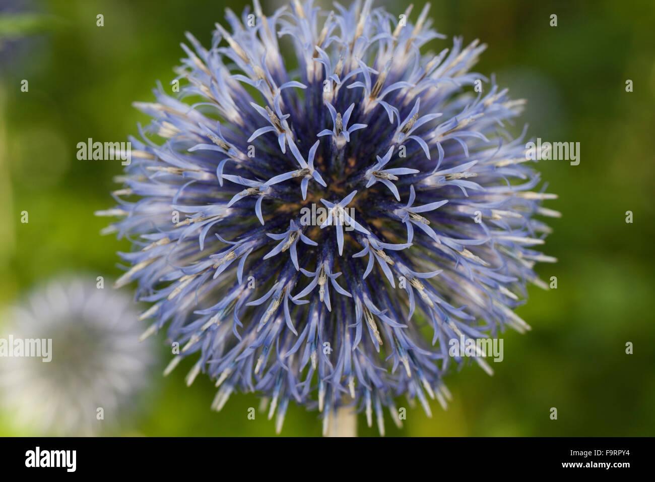 Globe thistle, globethistle, Kugeldistel, Echinops spec. - Stock Image
