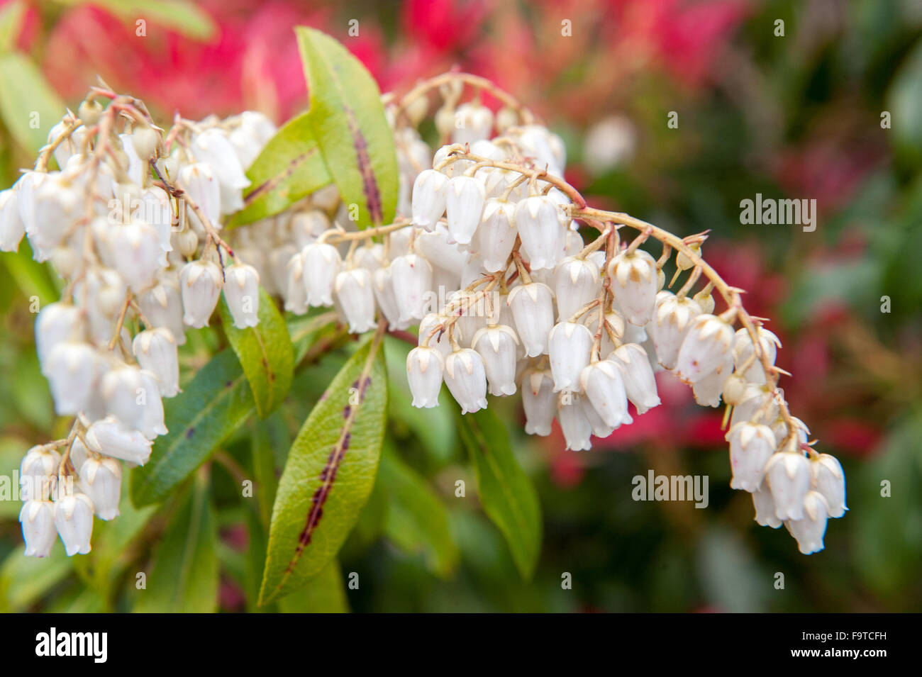 Small Bell Flower Stock Photos Small Bell Flower Stock Images Alamy