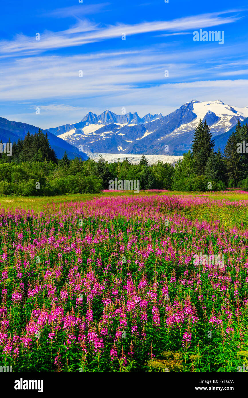 Juneau, Alaska. Mendenhall Glacier Viewpoint with Fireweed in bloom. - Stock Image