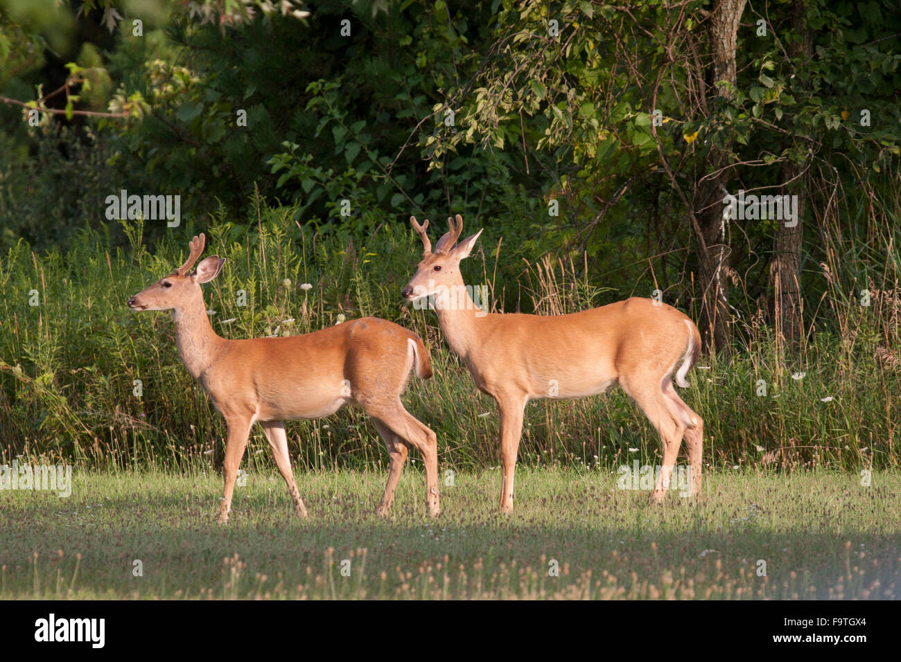 Pair of young whitetail bucks at edge of forest - Stock Image