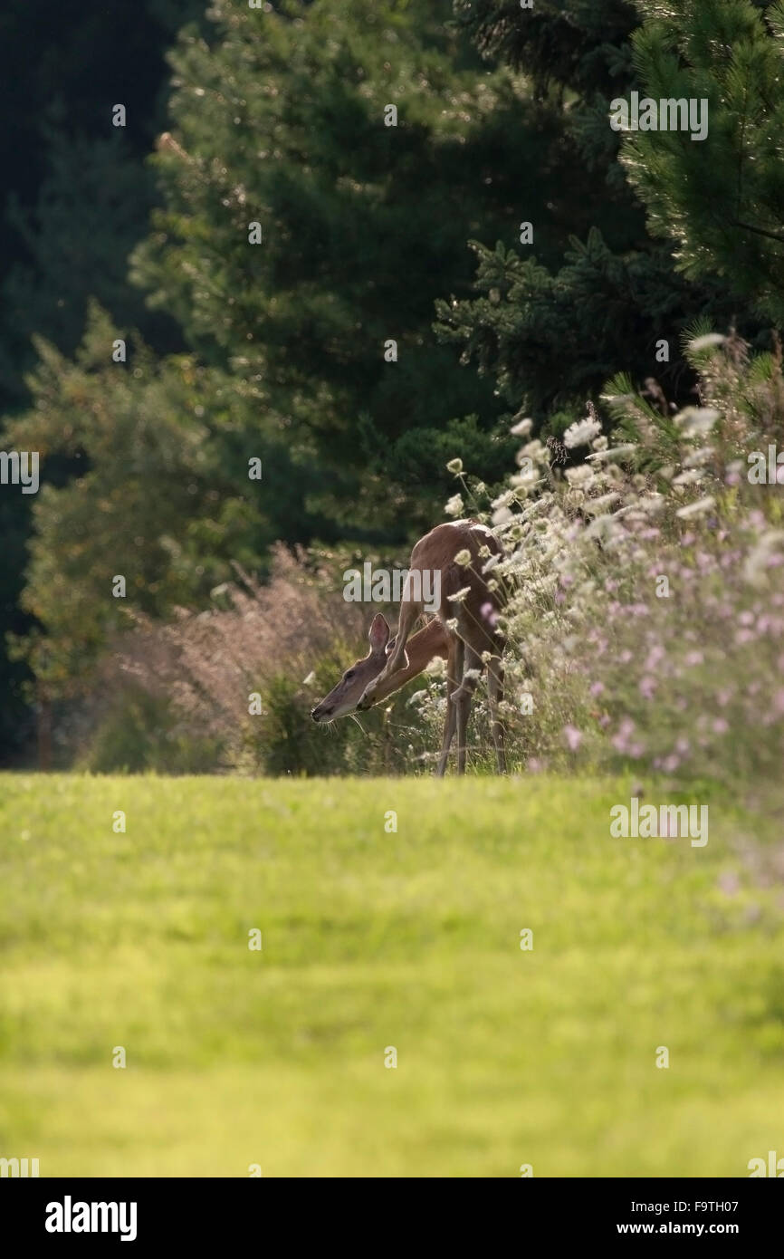 Whitetail deer scratches chin among the wildflowers - Stock Image