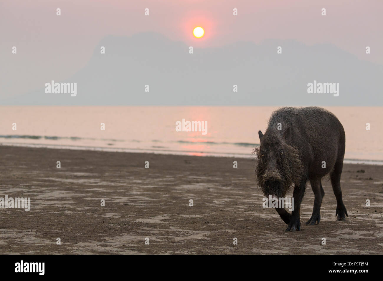 Bornean bearded pig (Sus barbatus) on a beach at sunset Stock Photo
